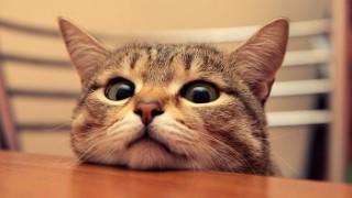พันธุ์แมวยอดนิยม