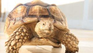 เต่ายักษ์ซูลคาต้า