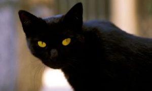 แมวไทยนิลรัตน์